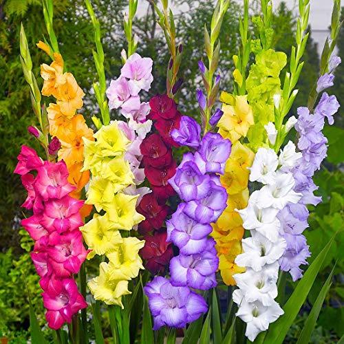 Gladiolen mehrfarbige Mischung...
