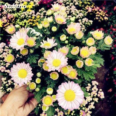Grosses soldes! 50 Pcs Daisy Graines de fleurs crème glacée parfum de fleurs en pot Chrysanthemum jardin Décoration Bonsai Graines de fleurs 11