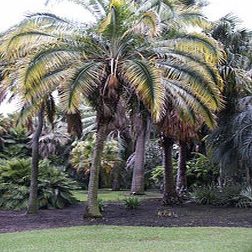 Phoenix rupicola, Cliff Palm,10 graines