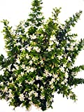 Myrte weiß - Der Dauerblüher bis in den Herbst