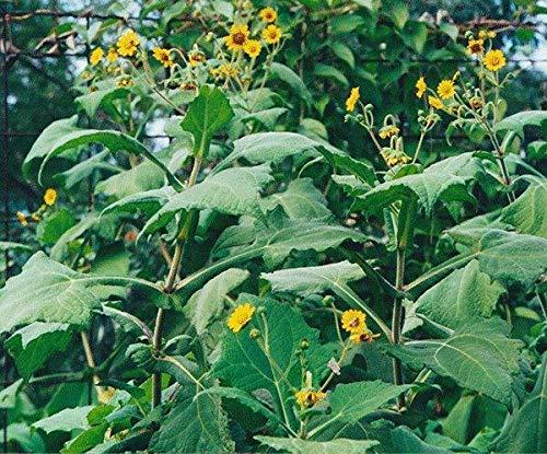 Bio-Saatgut nur Nicht Pflanzen: 2: Yacon Propagation Crowns (Smlanthus sonchifolius) Organisches ForSEED by FäHRE