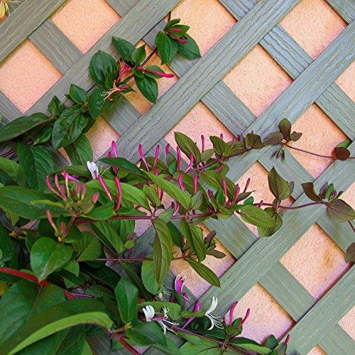 Set de 2 Celosías 1x0, 50 m MADERA COMPOSITE. Marca: B Cottage. Color verde natural: Amazon.es: Jardín
