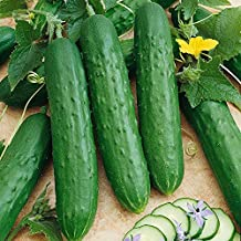 Saladmore Bush Hybrid Cucumber Seeds - A Container Cuke for All Climates!(25 - Seeds)