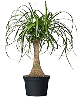 Best ponytail palm indoor plants Reviews
