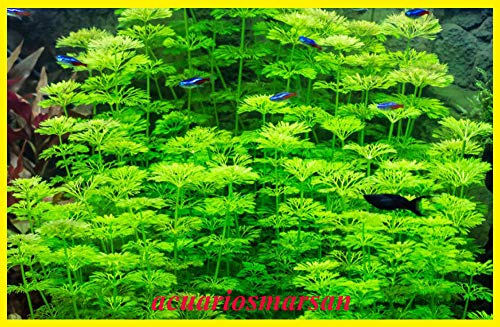 Planta DE Acuario, gambario Ambulia limnophila sessiliflora