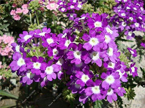Verbena hybrida Graine verveine Hortensis Bonsai Flowr semences Balcon intérieur Plantes jardin Fleurs colorées Woodland 100 Pcs 7