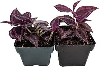 Burgundy Wandering Jew - 2 Plants - 3