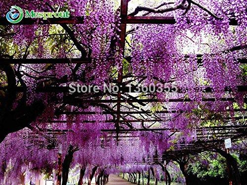 30 pcs / sac Graines pourpre Wisteria fleur pour la maison et le jardin plante bricolage Wisteria sinensis (Sims) Sweet Seed Livraison gratuite