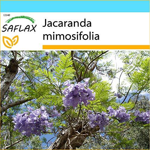 SAFLAX - Geschenk Set - Jacaranda - 50 Samen - Mit Geschenk- / Versandbox, Versandaufkleber, Geschenkkarte und Anzuchtsubstrat - Jacaranda mimosifolia