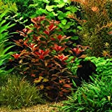 Ludwigia Repens 'Rubin' - Live Decoration Aquarium Plants Java Moss Fern Anubias