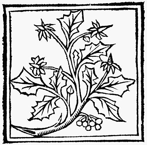Holly, 1503. /Nwoodcut From Macer Floridus' 'De Viribus Herbarum,' 1503. Poster Print by (18 x 24)