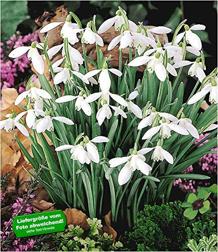 BALDUR Garten Schneeglöckchen, 20 Zwiebeln Galanthus nivalis