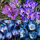 Tomasa Samenhaus- 50 stücke Garten Safran Blumensamen, Mehrjährige Blumenzwiebel Samen Schöne Safran Zierblumen saatgut