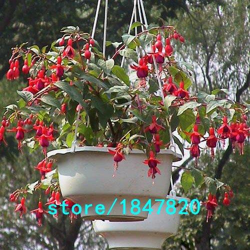 Vente Red Hot Fuchsias Graines Lanterne fleurs Bonsai Fuchsia vivaces Plantes à fleurs Planting Seeds Fleurs de Bell Flower 100PCS