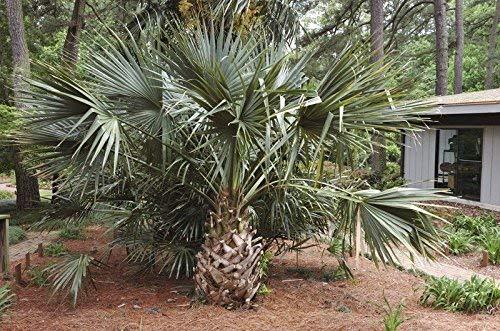 5 graines de Sabal Riverside froid Hardy Riverside Palmetto