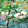 人気果樹!ユスラウメの苗木 白実【品種で選べる果樹苗木 2年生 接木苗 15cmポット 平均樹高:60cm/1個】(ポット植えなのでほぼ年中植付け可能)桜の季節に白~ピンク色の花が咲き、6月頃に実が楽しめます! 酸味が少なくほんのり甘い実は、サクランボに似た味がします。 生食や果実酒として楽しめます。 生長が早く2年目から実がなる事が多いです。 樹はあまり大きくなりませんので、庭木にとても人気です。 耐寒性も強く、剪定もほとんど必要ありませんので、初心者にもオススメです!【自社農場から新鮮苗直送!!】【即出荷/プライム送料込み価格】 #4