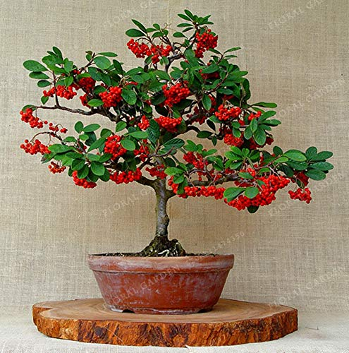 Bloom Green Co. Ankunft 10 Stück Kaffee Arabica-Bohnen Bonsai Pflanze Kadi Mu Kaffee Bonsai Qualität High Yield Arten für Garten