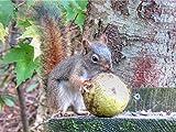 Red Squirrel And A Big Walnut