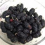 TENGGO 100Pcs Negras Semillas de Morera Mora Nigra Árbol Semilla de Arbusto de Jardín DIY de Bonsai de Jardín del Hogar - Negro