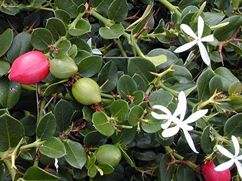 Natalpflaume,leckere exotische Früche vom Bodendecker naschen!! Pflanze,10 Samen, BIO hu-öko-01