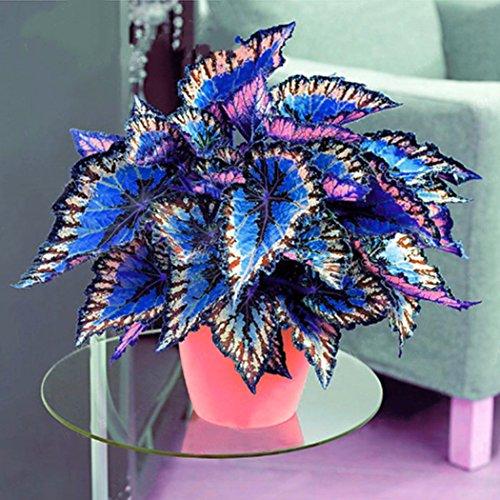 Yukio Samenhaus - 100 Stück Plectranthus scutellarioides Buntnessel auffällig Topfgarten Zimmerpflanzen
