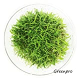 Greenpro Dwarf Hairgrass Live Aquarium Plants Tissue Culture Cup Freshwater Fish Tank Decorations