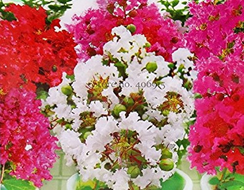 Seeds Market Rare Heirloom white mixed pink red crepe myrtle bonsai flowers 30 seeds, original packaging, perennial ornamental flowers