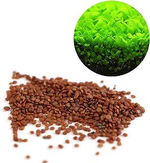 Semillas de Plantas Acuáticas Hemianthus Callitrichoides -