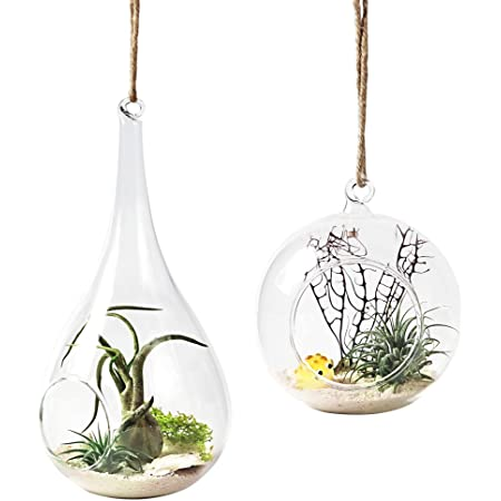12 Air Plant Variety Pack Small Tillandsia Terrarium Kit Assorted Species Of Live Tillandsia Tropical House Plants For Sale 2 To 5 Inches Each Air Plants For Indoor Home