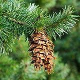 Abeto de Douglas, semillas de pino de Oregón -...