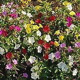 200 PCS/Paquet Mélange De Couleurs De Jasmin De Couleur Quatre O'Clock Fleur Graine Plante Organique Jardin Décor