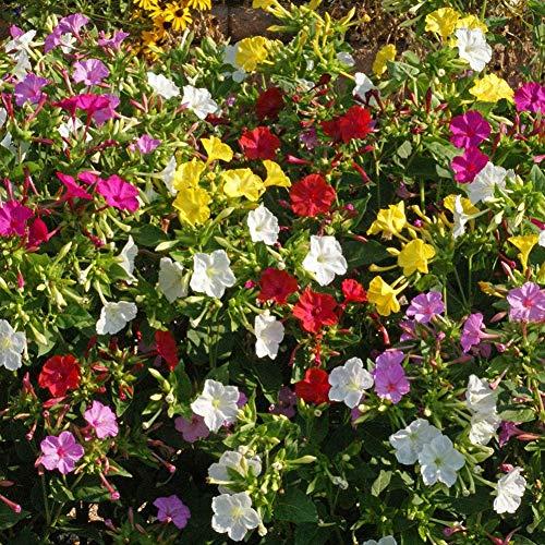 Vier Uhr Mirabilis Jalapa Samen, mischte Farbe Samen, um duftende Blumen-Anlage für Balkon-Patio außerhalb des Gartens 200pcs zu wachsen
