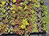 Sedum - Pflanzenpaket Sedumteppich für 4 m² Dachbegrünung, Steingarten, Mauerbepflanzung, etc.