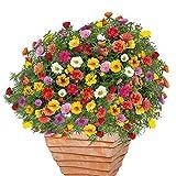 AIMADO Samen-100 Pcs Bio Portulakröschen Samen,5 cm große Blüten Blumensamen Mischung pflegeleicht Blumen Saatgut ideal für Garten,Balkonkästen, Pflanzkübel oder Hängeampeln