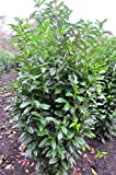 immergrüner Kirschlorbeer Prunus laurocerasus Genolia -R- 150-175 cm hoch im 15 Liter Pflanzcontainer