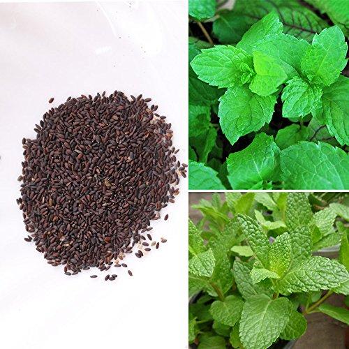 Rosepoem 1000pcs Menthe Peppermint Herb Graines Aroma Lemon Baume Saranair Aromatique Feuilles