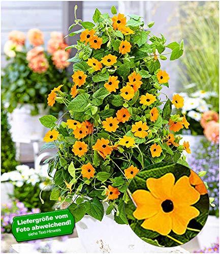 BALDUR-Garten Orange Thunbergia