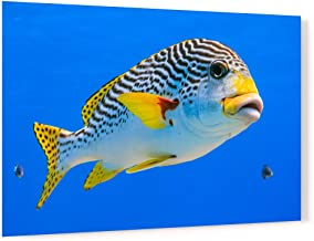 Diagonal Banded Sweetlips Fish Acrylic Wall Art Photo Print Carl Chapman 1173 (60x40cm (23.6×15.7in))