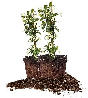 Perfect Plants Confederate Jasmine Live Plant, 1 Gallon - 2 Pack, Includes Care Guide