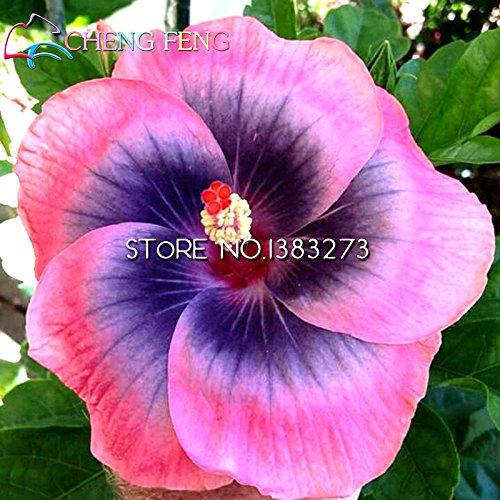 On Sale *** de Graines Hibiscus Graines Hibiscus rosa-sinensis Graines de fleurs multi pétales de couleur Flores arbre en pot Plantes Accueil