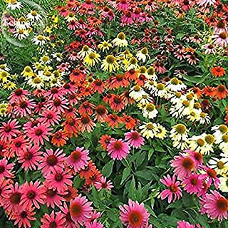 Solution Seeds Farm Rare 'Cheyenne Spirit' Mixed Echinacea Coneflower, 100 seedas, ornamental perennial flowers long blooming