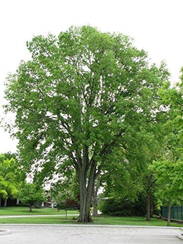 Almez, Celtis occidentalis, semillas de árboles (Rápido, comestible, Hardy, color de la caída) 10