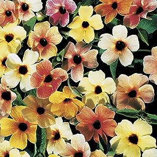 Black Eyed Susan Vine Thunbergia Spanish Eyes 25 Seeds