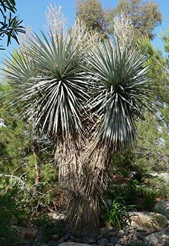 10 Samen von Yucca rigida'Silver Leaf Yucca''Blue Yucca' Hardy Wüste Ureinwohner