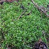 水辺の緑のお花畑天然ツルチョウチンゴケ!波立つ葉が魅力的!蓋つきコケリウムベースコケに (金曜締切⇒土日採取⇒月曜日発送)