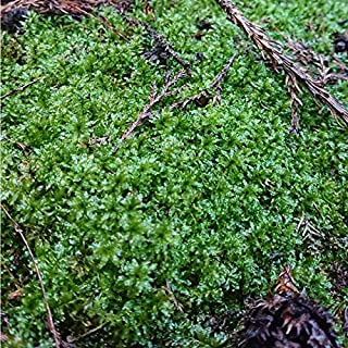 水辺の緑のお花畑天然ツルチョウチンゴケ!波立つ葉が魅力的!蓋つきコケリウムベースコケに (翌日~翌々日発送)