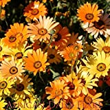 African Daisy Flake Flower Seeds, Daisy Flower Seeds, 1500 Heirloom Seeds Per Packet, Non GMO Seeds