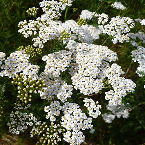 Outsidepride Yarrow White Wildflower - 5000 Seeds