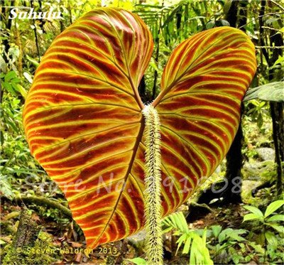 Janpanse Bonsai coleus Graines 50 Pcs Plantes feuillage couleur parfait arc Graines Belle Mixed Flower Garden plante Sement 24