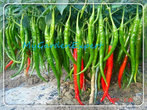 Géant Hunan poivre long Chili Pepper Graines 30pcs / sac Graines Chili Graines de poivre, Paprika Bonsai Vegetable Garden